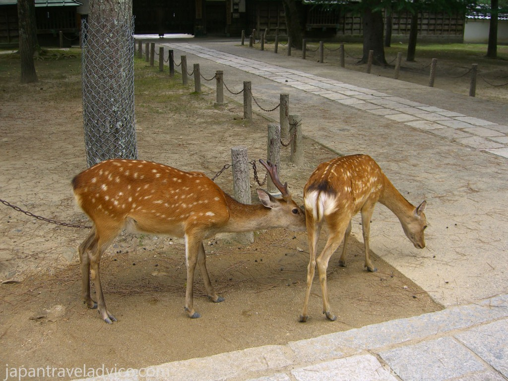 Deer in Nara Park near Todaiji