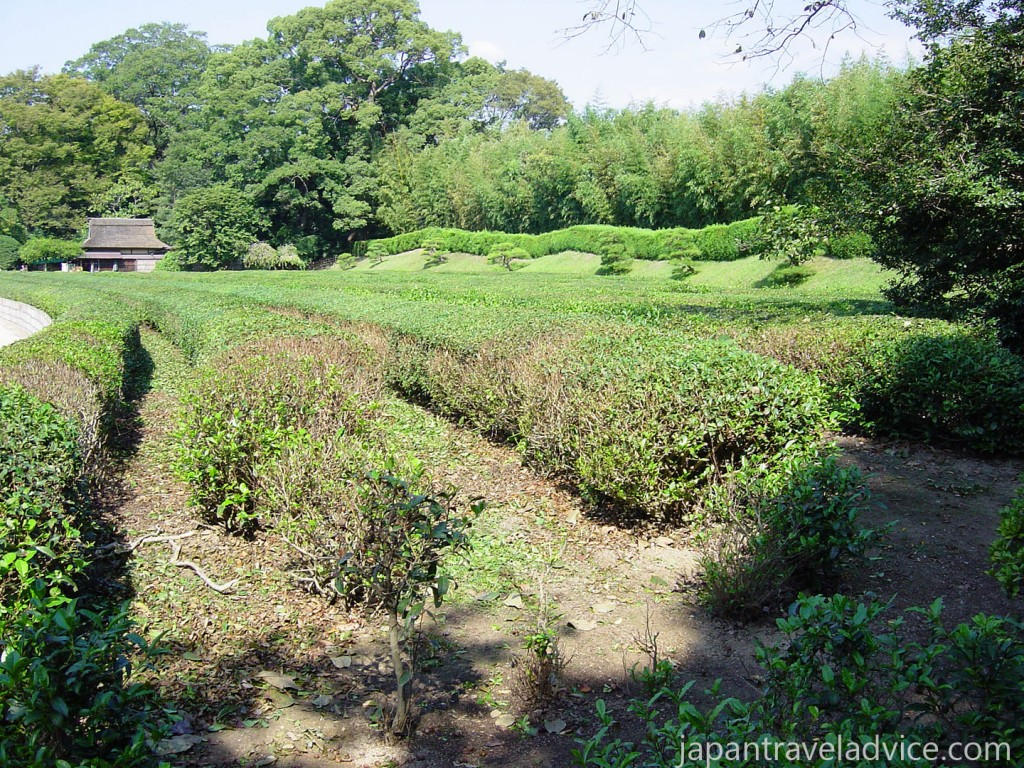 Tea Fields at Korakuen