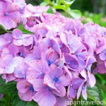 Close up of a Purple Ajisai Hydrangea