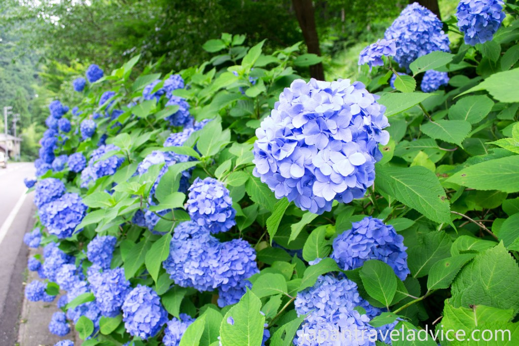 Blue Hydrangeas Along the Side of the Road