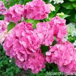 Pink Ajisai Hydrangea