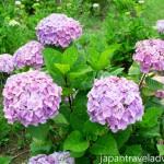 Purple Ajisai Hydrangea