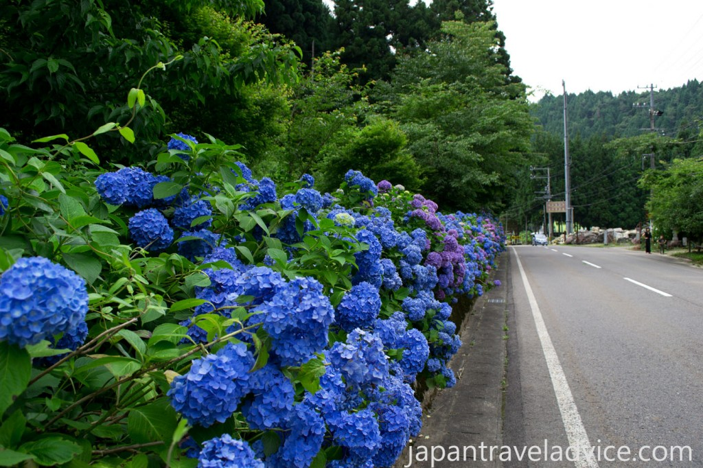 Ajisai along the Hydrangea Road