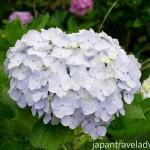 White Ajisai Hydrangea