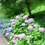 Purple and Blue Ajisai Hydrangea