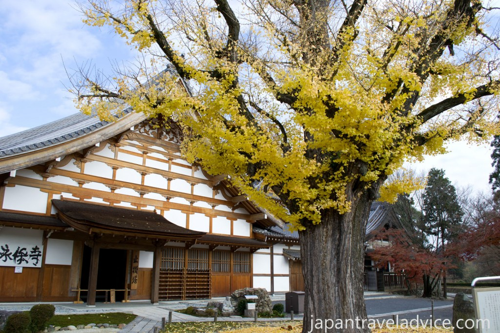 The Famous Gingko Tree at Kokeizan Eihoji Temple