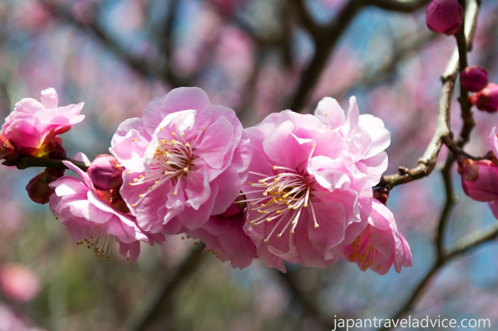 Plum Blossoms Bairin Park