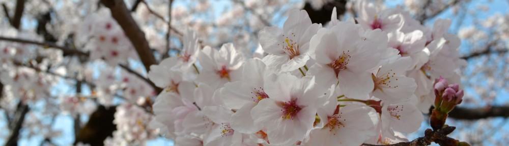 Cherry Blossoms at Gifu Park in Gifu City