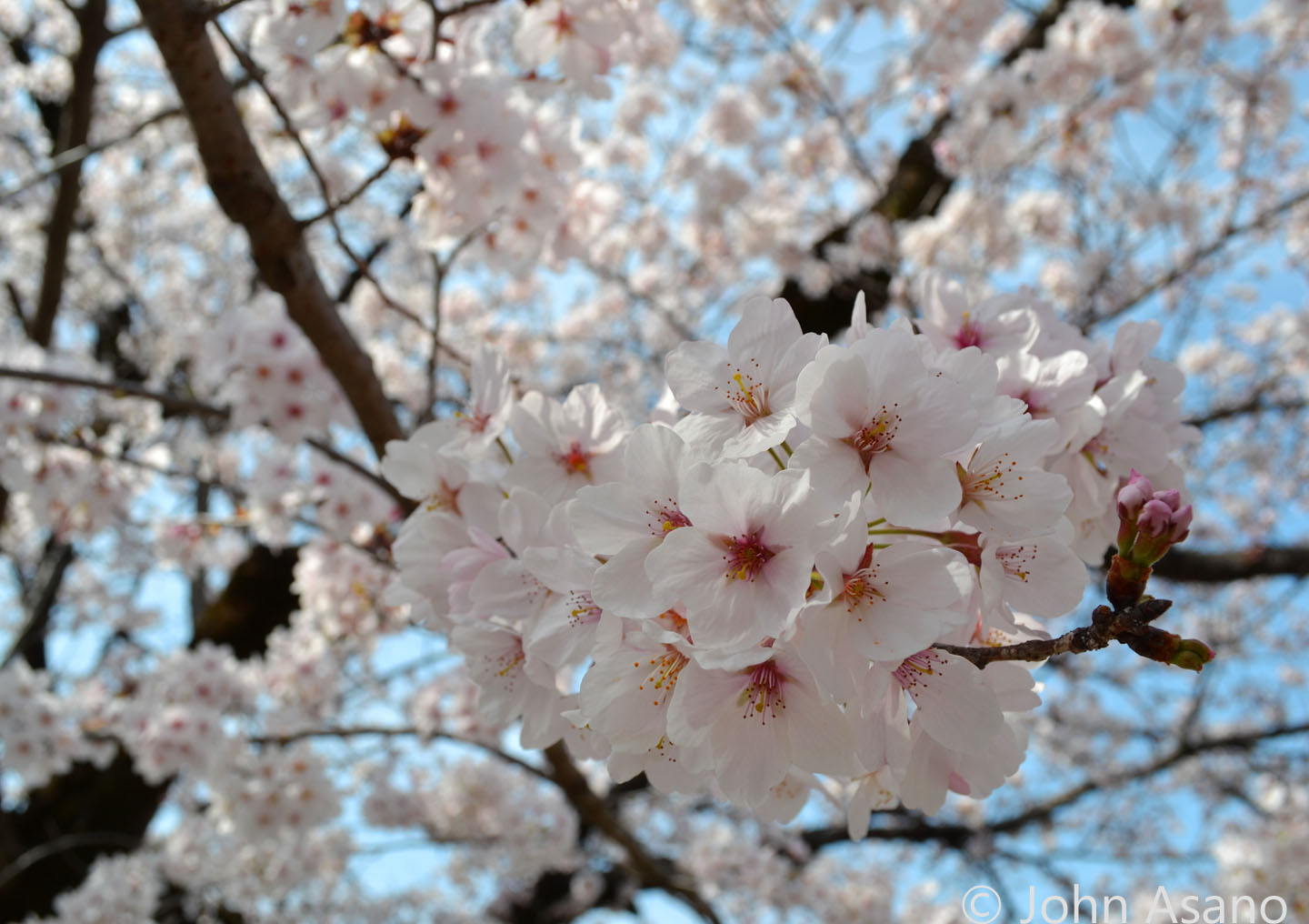Cherry Blossoms at Gifu Park in Gifu City